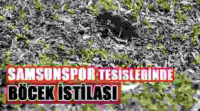 SAMSUN HABER - Samsunspor Nuri Asan Tesileri'ni danaburnu böceği bastı