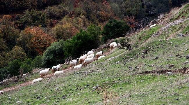 Samsun'da keçileri kaçırtan ihbar
