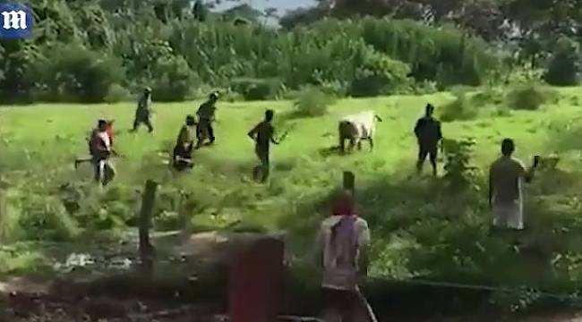 İnsanlıktan çıkıyoruz. Yakaladıkları Sığırı Saniyeler İçinde Parçaladılar