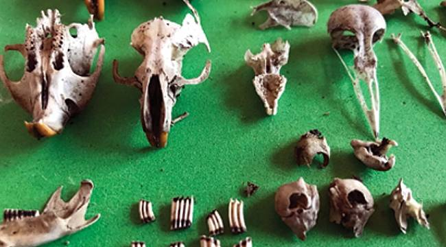 Baykuşların kustuğu kemikleri biriktiriyor