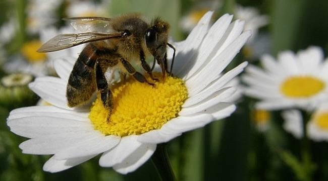 Ladik'te arı kovanlarına sonbahar bakımı