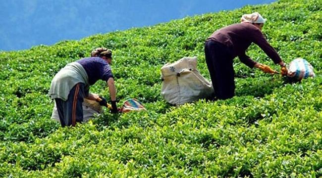 ÇAYKUR, yaş çay bedellerini ödemelerine başladı