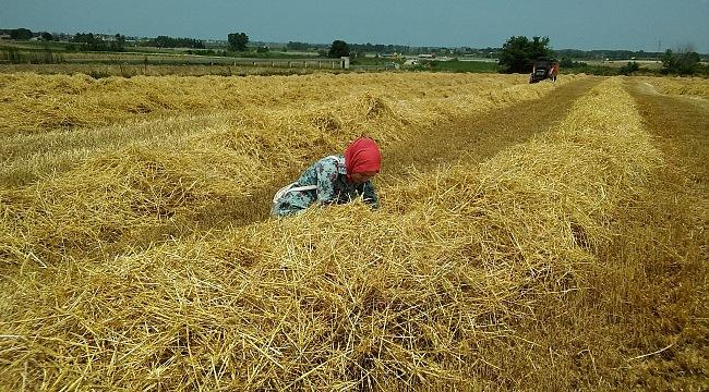 Samsun'da buğday hasadı sona erdi