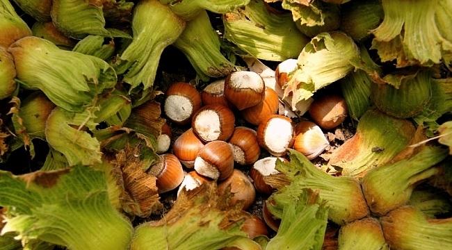 Samsun'da hasat zamanı başlıyor