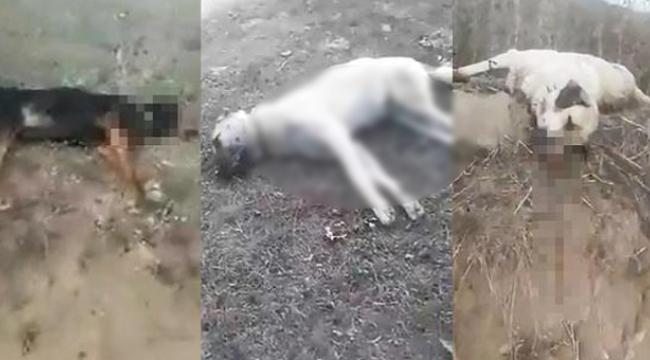 Samsun'da hayvan katliamı
