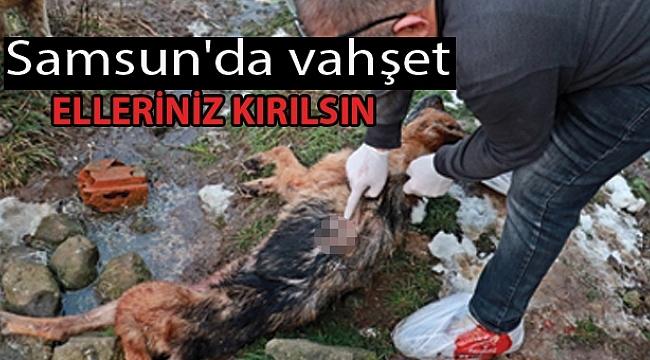 Samsun'da köpekleri silahla vurdular