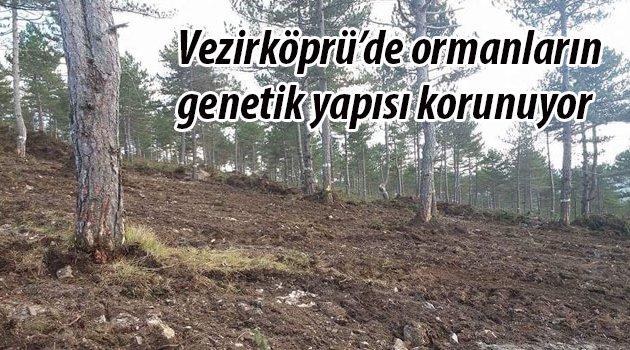 Vezirköprü'de ormanların genetik yapısı korunuyor